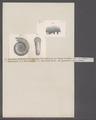 Ammonites parkinsoni depressus - - Print - Iconographia Zoologica - Special Collections University of Amsterdam - UBAINV0274 091 01 0030.tif