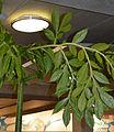 Amorphophallus titanum foliage.jpg