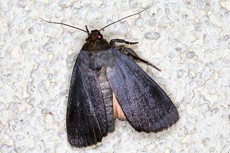 Amphipyra livida, Lodz(Poland)02(js).jpg