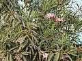 An oleander (Nerium oleander) plant.JPG