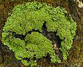Anaptychia palmulata (wet) - Flickr - pellaea.jpg