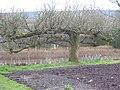Ancient espalier apple tree in Standen kitchen garden - geograph.org.uk - 737232.jpg