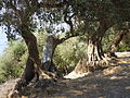 Ancient olive trees at Alalkomenai on Ithaka.JPG