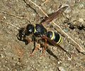 Ancistrocerus sp. collecting mud - Flickr - S. Rae.jpg