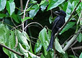 Andaman Drongo (Dicrurus andamanensis) in tree.jpg