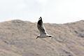 Andean Gull (Chroicocephalus serranus) (4856332949).jpg