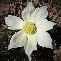 Anemone des Alpes (pulsatilla alpina) (2).jpg