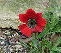 Anemone fulgens - Flickr - peganum (2).jpg