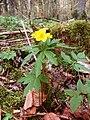 Anemone ranunculoides 210406a.jpg