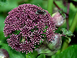 Angelica gigas - Flowers
