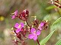 Angelito - Terciopelo (Monochaetum bonplandii) - Flickr - Alejandro Bayer.jpg