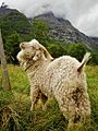Angora goat in Norway.jpg