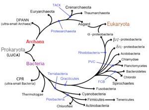 Prokaryote - Phylogenetic ring showing the diversity of prokaryotes, and symbiogenetic origins of eukaryotes