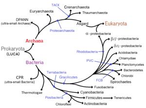 Prokaryote - Phylogenetic ring showing the diversity of prokaryotes, and symbiogenetic origins of eukaryotes