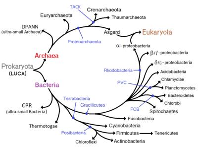 Eucariogénesis - Wikipedia, la enciclopedia libre