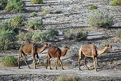 عکس از شترها در پارک ملی کویر ایران، حوالی کاروانسرای دیرگچین