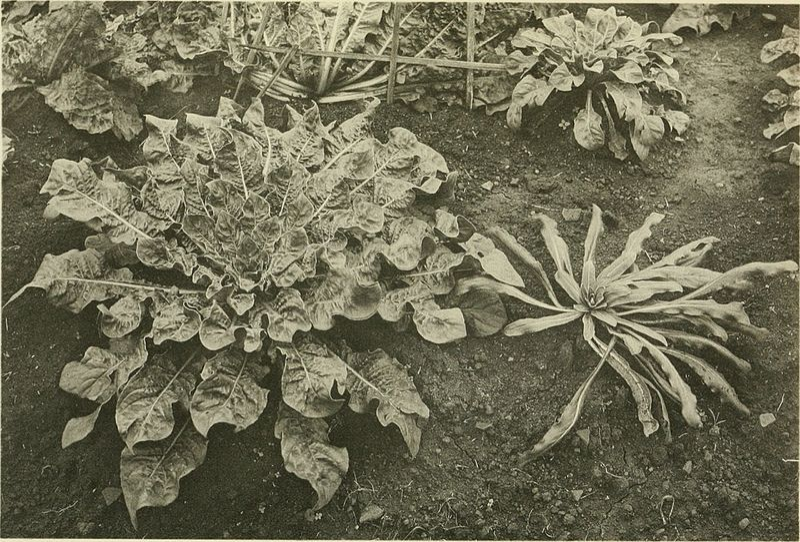 File annales du jardin botanique de buitenzorg for Ca vient du jardin