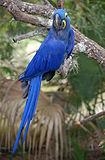 Anodorhynchus hyacinthinus -Australia Zoo -8-2c.jpg
