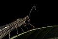 Ant Lion (33419619571).jpg