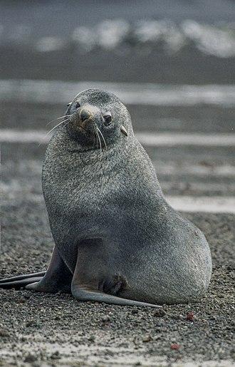 Antarctic fur seal - The fur seal, Deception Island