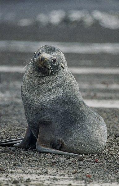 zonas climaticas del mundo 384px-Antarctic%2C_sea_lion_%28js%29_64