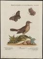 Anthus ludovicianus - 1700-1880 - Print - Iconographia Zoologica - Special Collections University of Amsterdam - UBA01 IZ16300181.tif