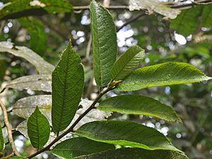 Antiaris - Antiaris toxicaria leaves on twig