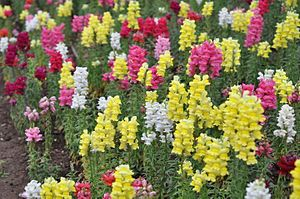 Antirrhineae - A field of common snapdragons (Antirrhinum majus) grown in Jerusalem