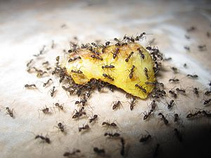 English: Ants eating slice of an apple!