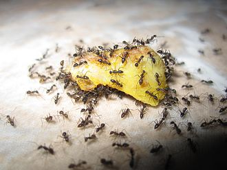 Decentralised system - A large number of Ants eating a piece of fruit.