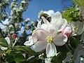 Apfelbaum Blüte.JPG