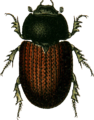 Aphodius porcus Jacobson.png