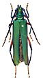 Aphrodisium tricoloripes - ZooKeys-275-067-g001-4a.jpeg