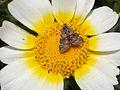 Aporodes floralis.jpg