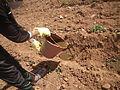 Application produits ecosan (digestat) à Dayet Ifrah, Maroc (12084919964).jpg