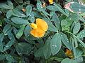 Arachis glabrata Townsville Queensland 1375.JPG