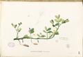 Arachis hypogaea Blanco1.157-original.png