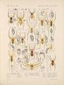 Arachnida Araneidea Vol 1 Table 26.jpg
