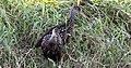 Aramus guarauna (Limpkin) 22.jpg