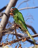 A green parrot with a blue forehead, yellow eye-spots, orange irises, and a light-green underside