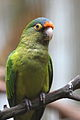 Aratinga canicularis -Jurong Bird Park, Singapore-8a.jpg