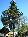 Araucaria cunninghamii Mudie (AM AK325715-2).jpg