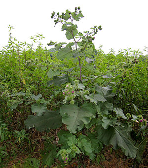 Arctium lappa - Greater burdock
