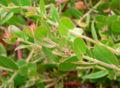 Arctostaphylos cruzensis 3.jpg