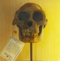 Ardipithecus skull.png