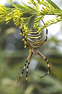<i>Argiope bruennichi</i> A species of arachnid belonging to the orb-weaver spiders family