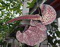 Aristolochia 2015-07-15 4268.JPG