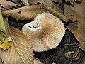 Armillaria mellea Kiev 3.jpg