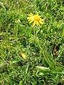 Arnica montana001.jpg