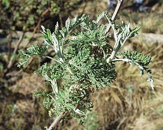 Artemisia afra - African wormwood